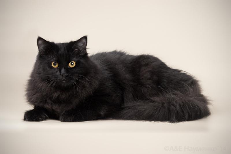 фото черные сибирские коты